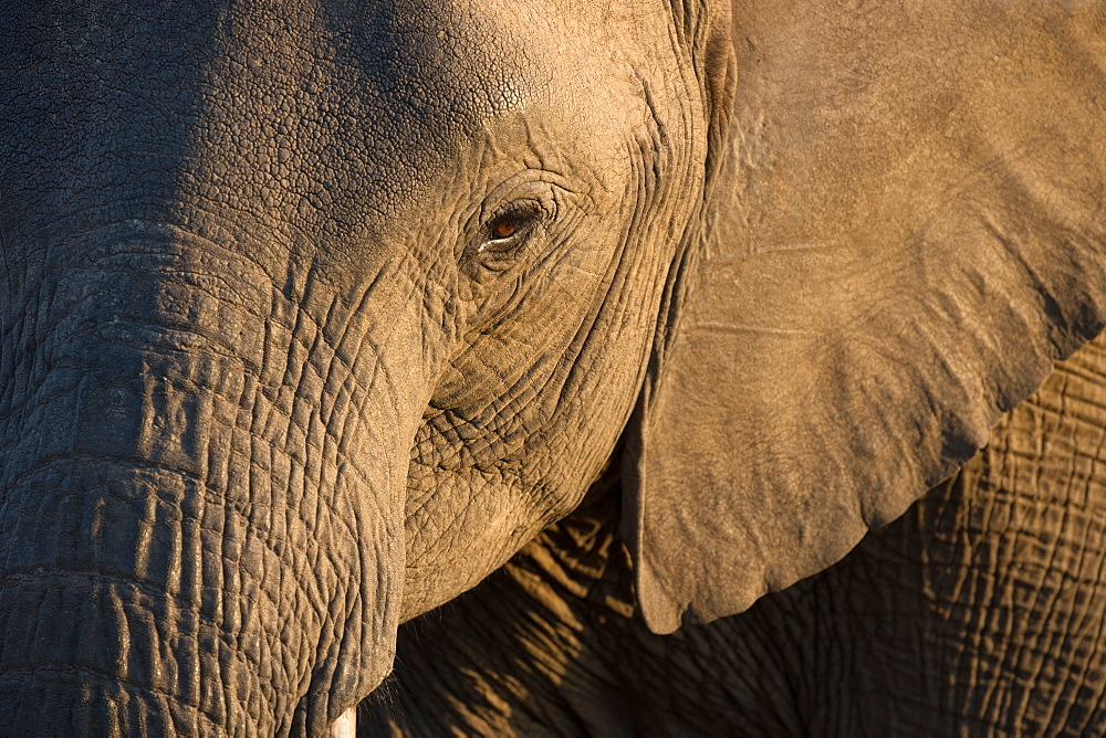 Close-up of baby African Elephant (Loxodonta africana), Kruger National Park, South-Africa, Africa