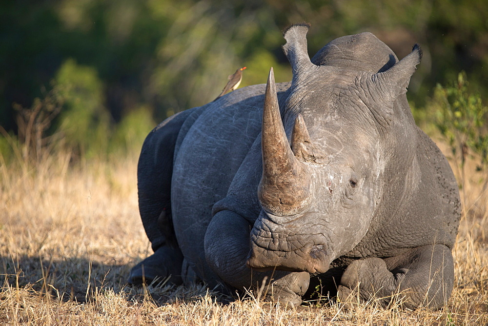 Rhinoceros (Ceratotherium simum) in savanna, Kruger National Park, South-Africa, Africa - 809-7593