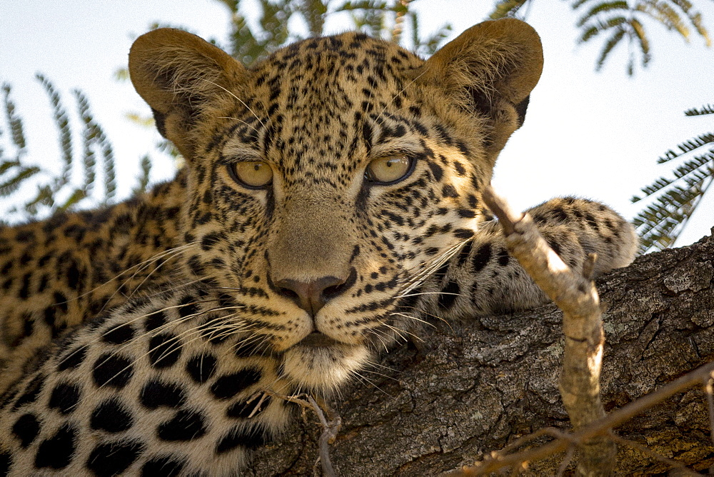 Leopard in tree (Panthera pardus), Kruger National Park, South Africa, Africa