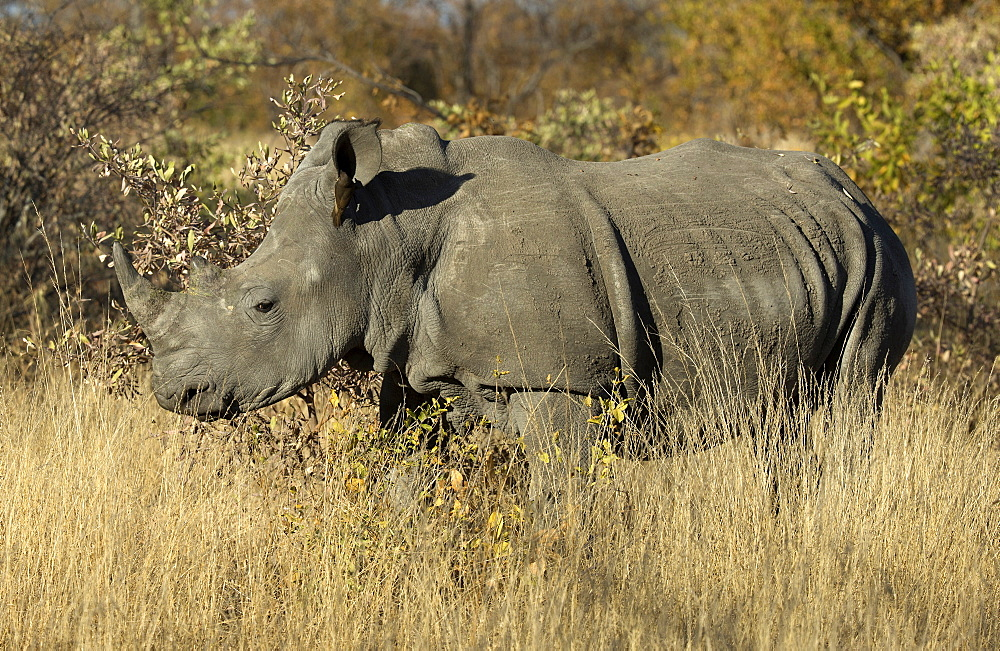 White rhinoceros ( Ceratotherium simum ) standing in the bush. Kruger National Park. South Africa.