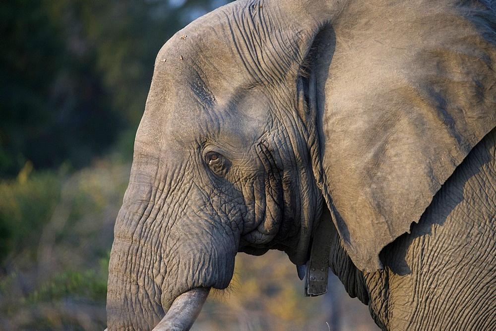 African Elephant, (Loxodonta africana). Kruger National Park. South Africa.