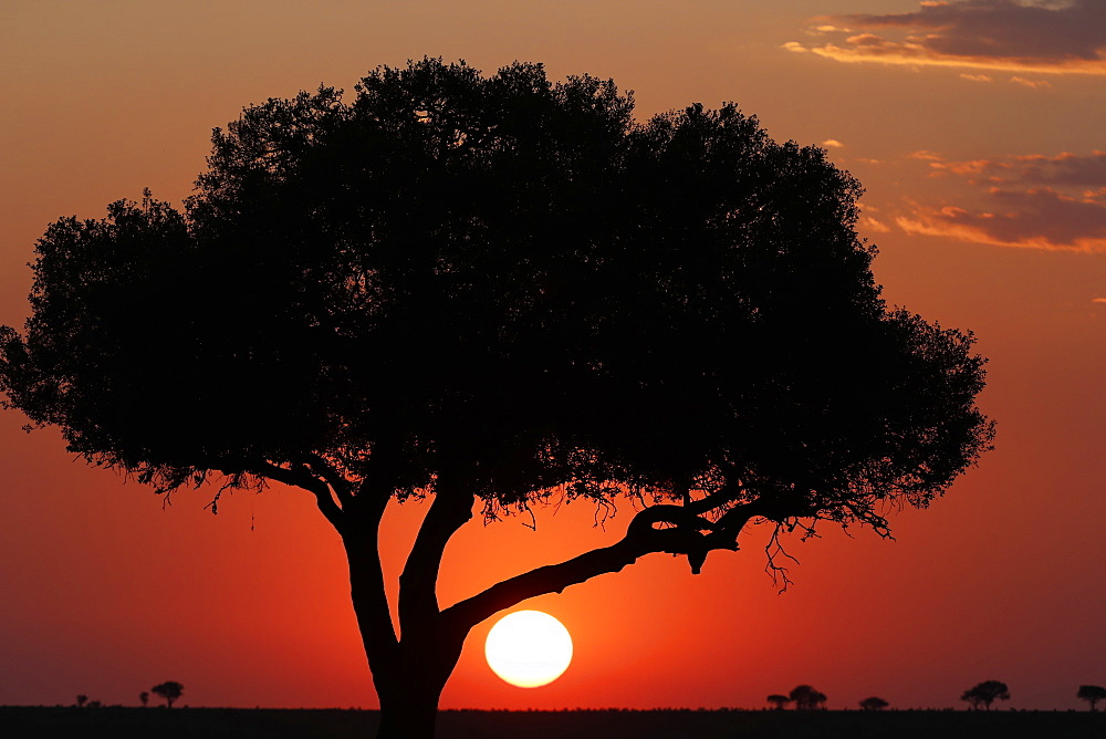 Acacia tree silhouette at sunset, Masai Mara National Park, Kenya, East Africa, Africa
