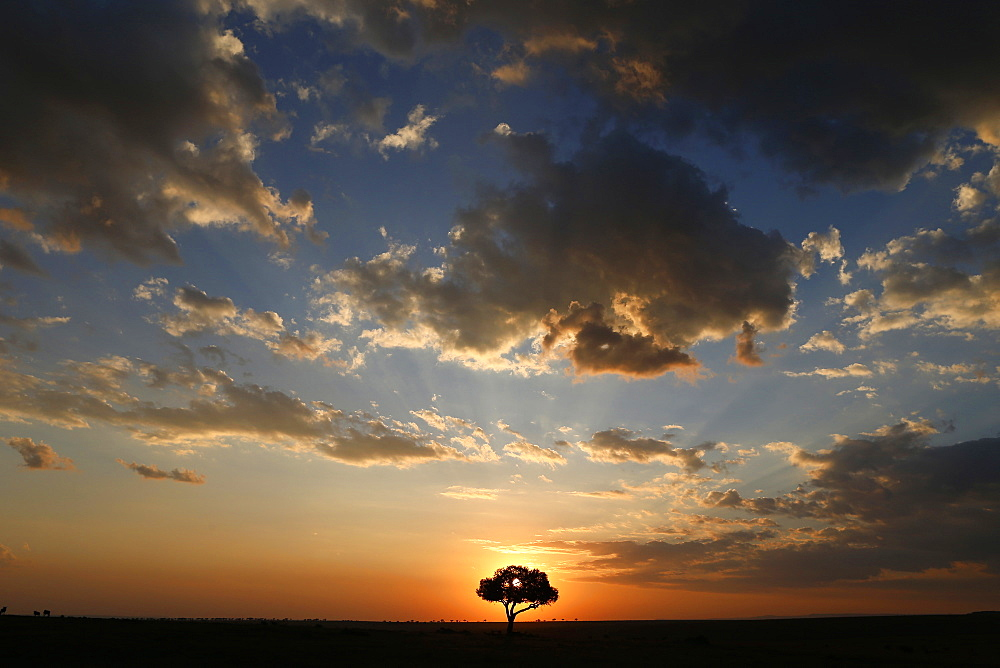 Acacia tree and clouds at sunset, Masai Mara National Park, Kenya, East Africa, Africa