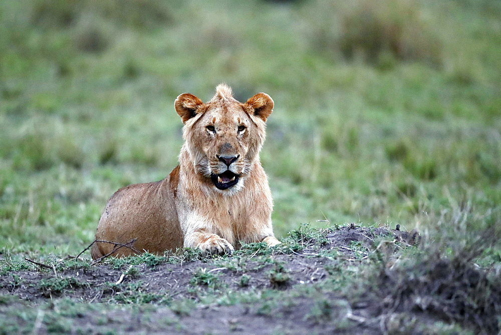 Lioness (Panthera leo) in savanna, Masai Mara National Park, Kenya, East Africa, Africa