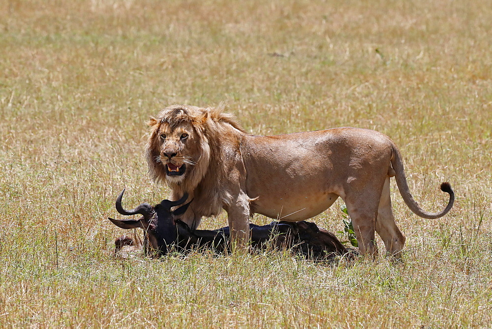 Lion (Panthera leo) with wildebeest kill in savanna, Masai Mara National Park, Kenya, East Africa, Africa