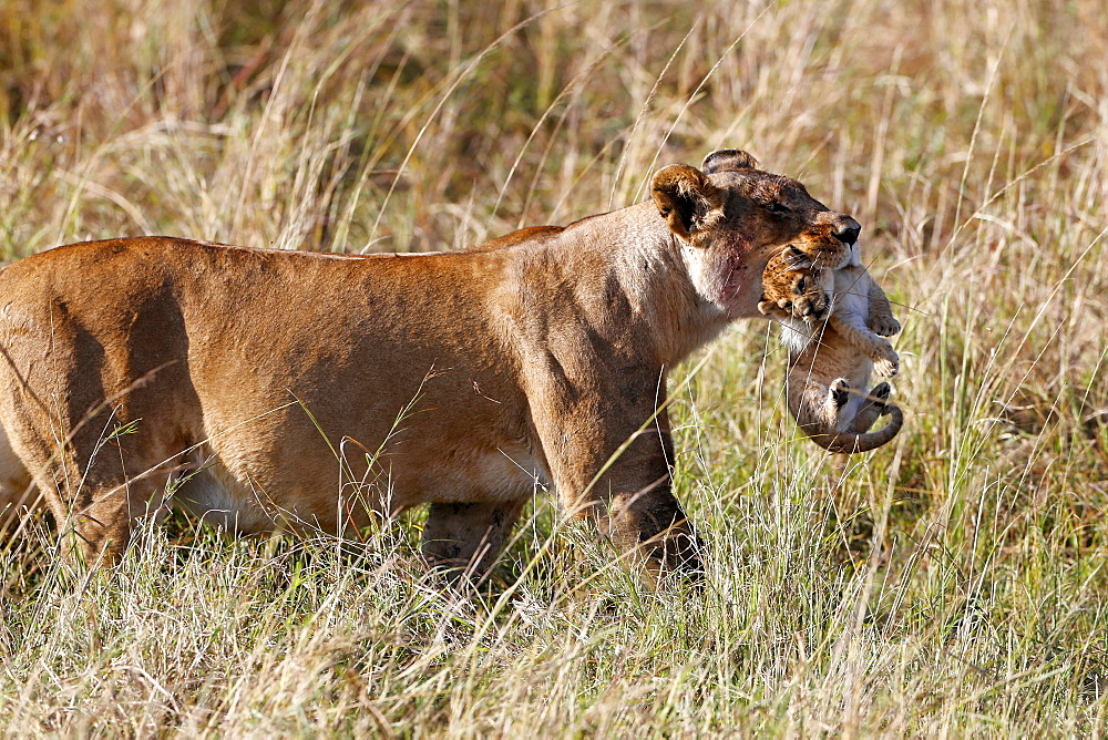 A lioness (Panthera leo) moving a young cub by carrying it in her mouth, Masai Mara National Park, Kenya, East Africa, Africa