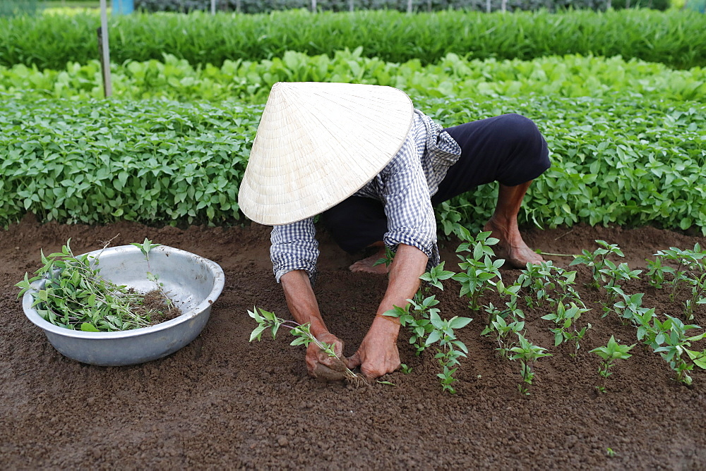 Vietnamese woman planting seedlings in Organic vegetable gardens in Tra Que Village, Hoi An, Vietnam, Indochina, Southeast Asia, Asia - 809-7866