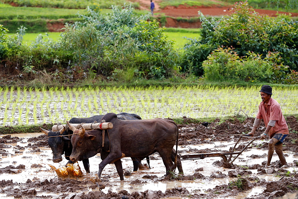 Farmer ploughing rice paddy field with traditional primitive wooden oxen-driven plough, Madagascar, Africa