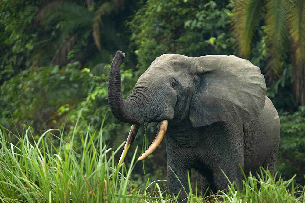 African forest elephant (Loxodonta cyclotis), Odzala-Kokoua National Park, Republic of the Congo, Africa - 809-8151