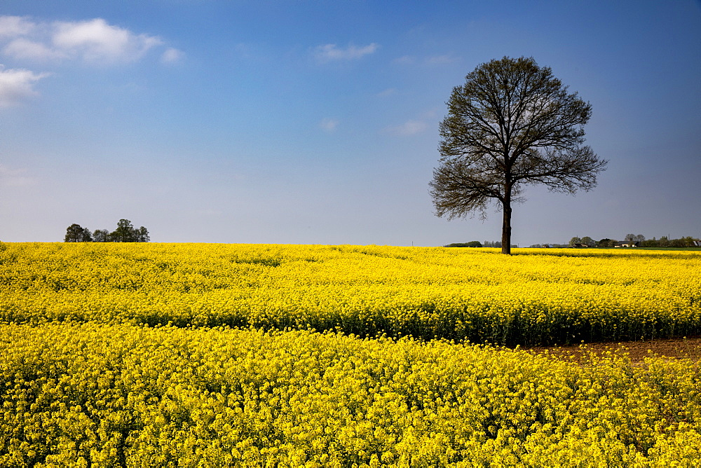 Rapeseed field in Eure, Normandy, France, Europe - 809-8154