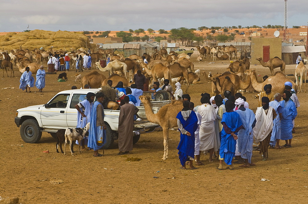 Men trading camels at the camel market of Nouakchott, Mauritania, Africa