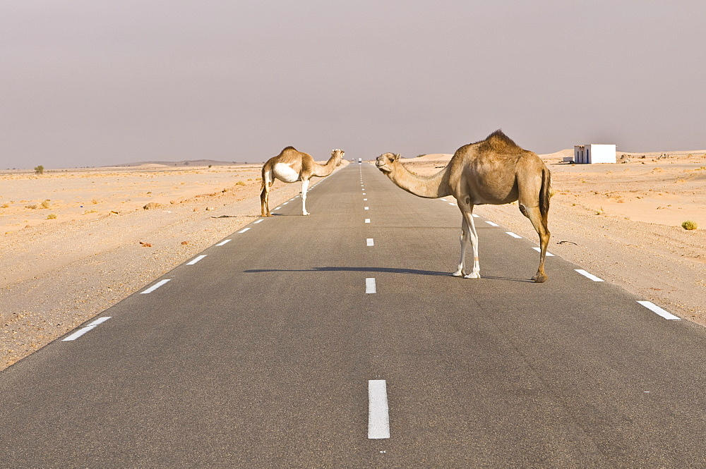 Camels standing on the road between Nouadhibou and Nouakchott, Mauritania, Africa