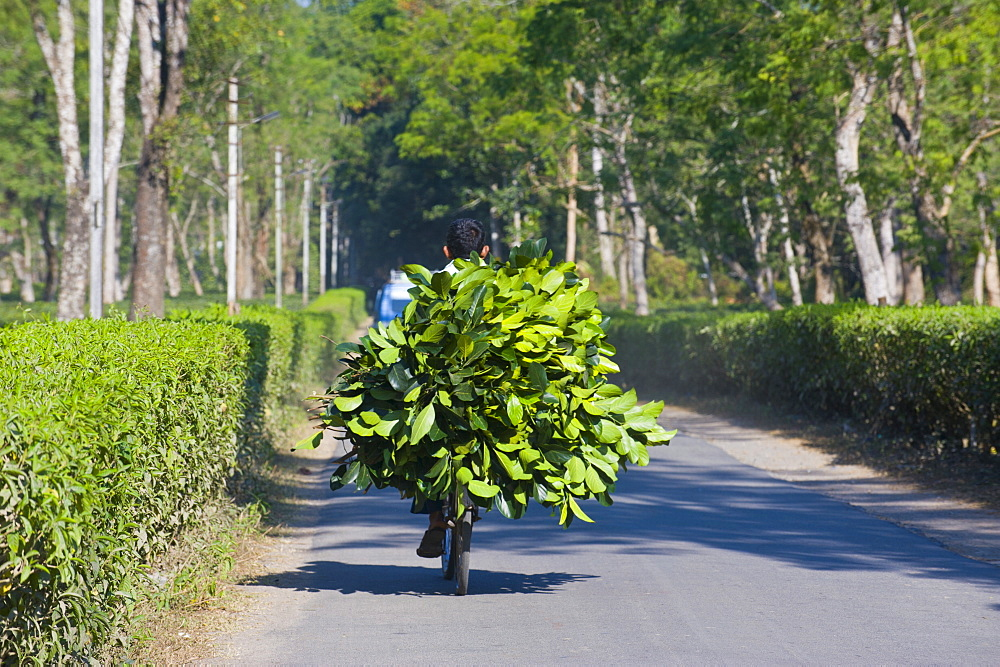 Worker brings tea on his bicycle back home, Assam, India, Asia