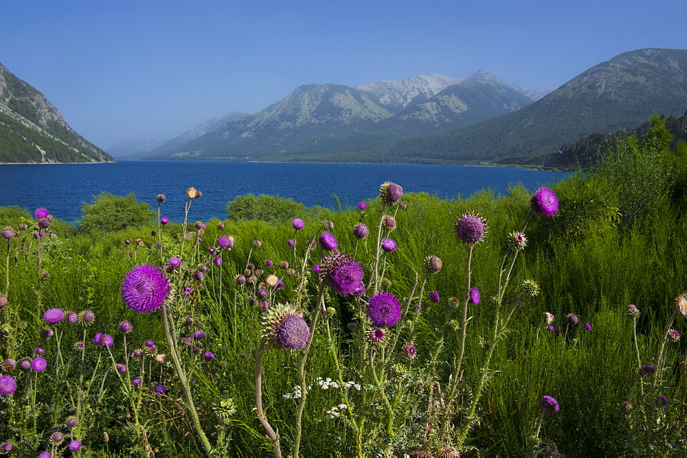 Mountain lake with wild flowers, Ruta de los Siete Lagos, Argentina, South America