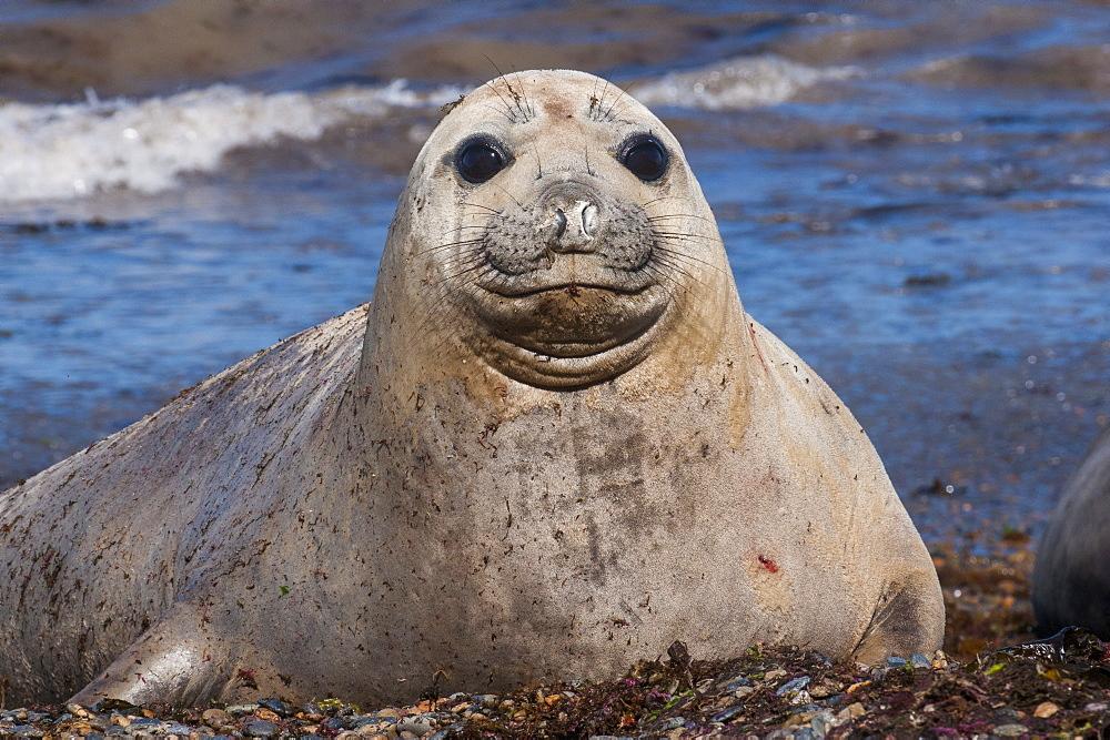 Elephant seal on Punta Ninfas, Chubut, Argentina, South America