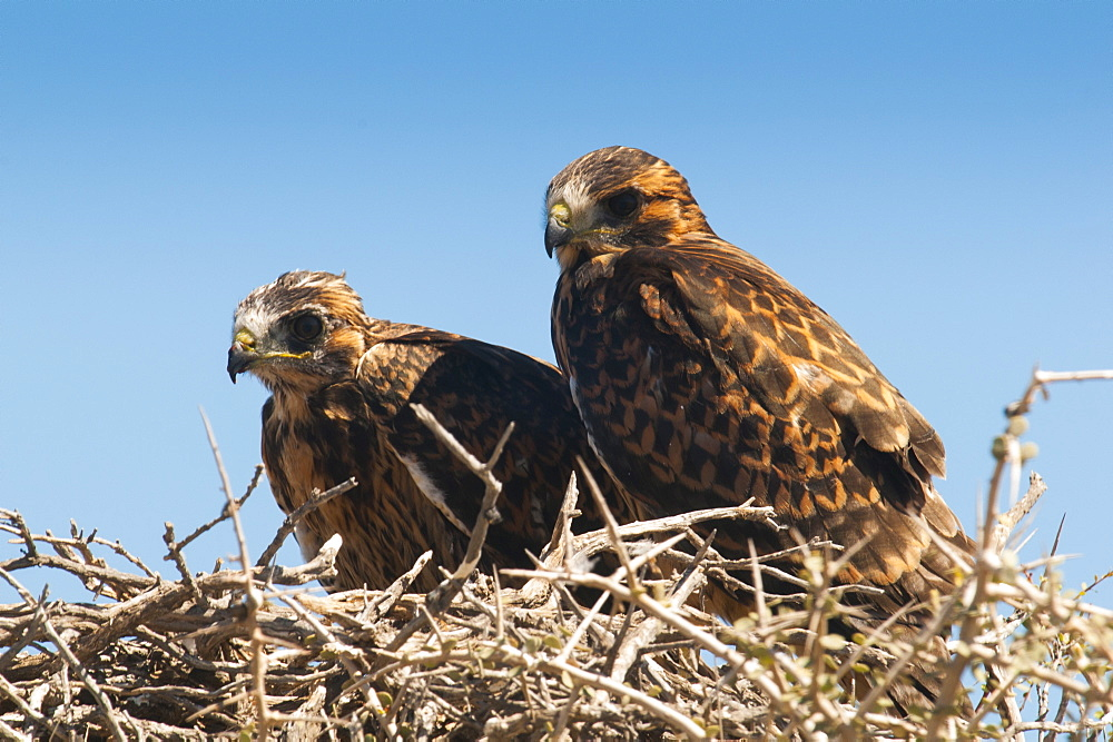 Eagle couple in their nest, Punta Ninfas, Chubut, Argentina, South America