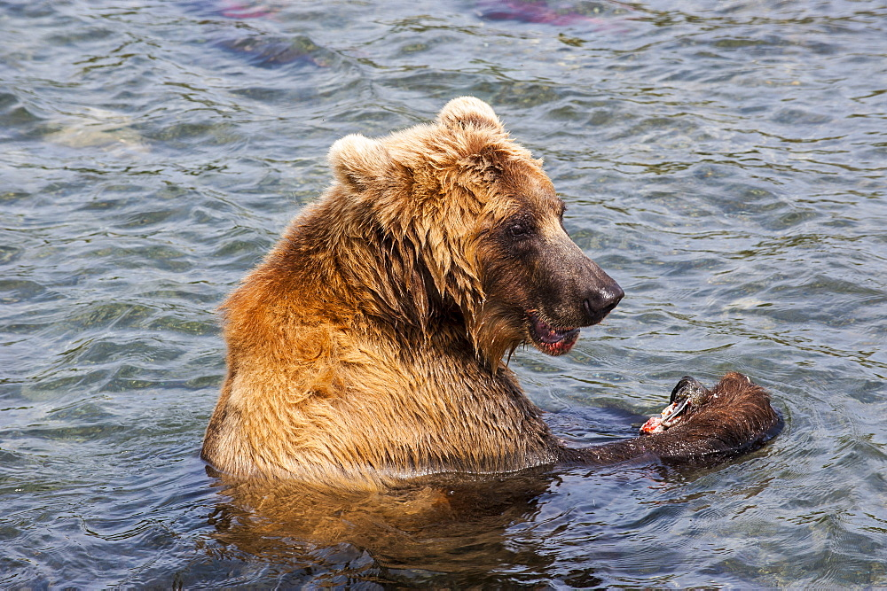 Kamchatka brown bear (Ursus arctos beringianus) eating salmon, Kurile Lake, Kamchatka, Russia, Eurasia