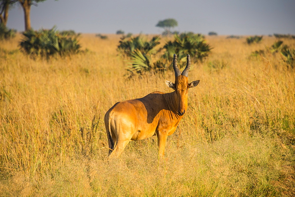 Ugandan Kob (Kobus kob thomasi), Murchison Falls National Park, Uganda, East Africa, Africa