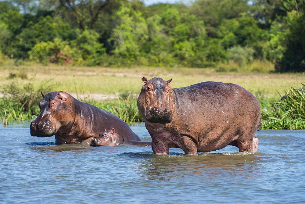 Hippopotamus (Hippopotamus amphibius), Murchison Falls National Park, Uganda, East Africa, Africa