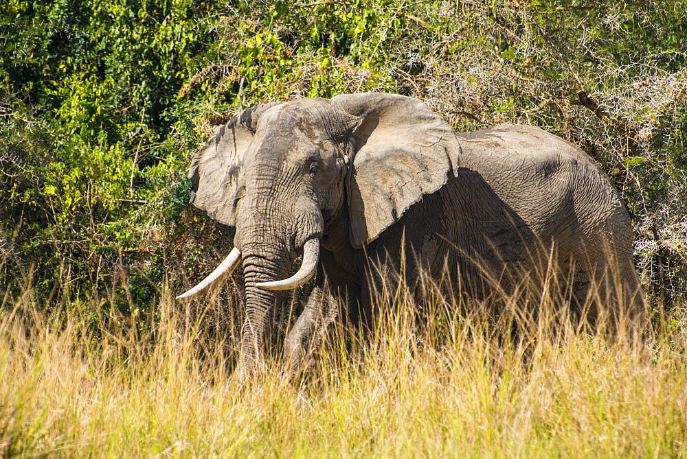 African elephant (Loxodonta africana), Murchison Falls National Park, Uganda, East Africa, Africa