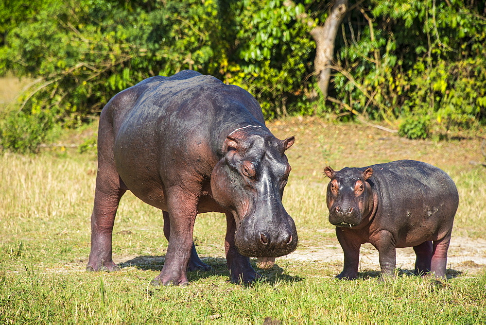 Hippopotamus (Hippopotamus amphibius) mother with baby, Murchison Falls National Park, Uganda, East Africa, Africa