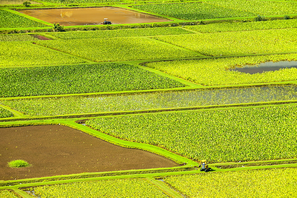 Taro fields near Hanalei on the island of Kauai, Hawaii, United States of America, Pacific