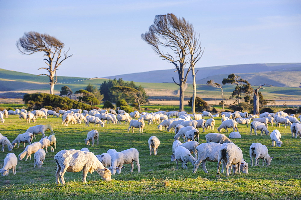 Sheep grazing in the green fields of the Catlins, South Island, New Zealand, Pacific - 816-6673