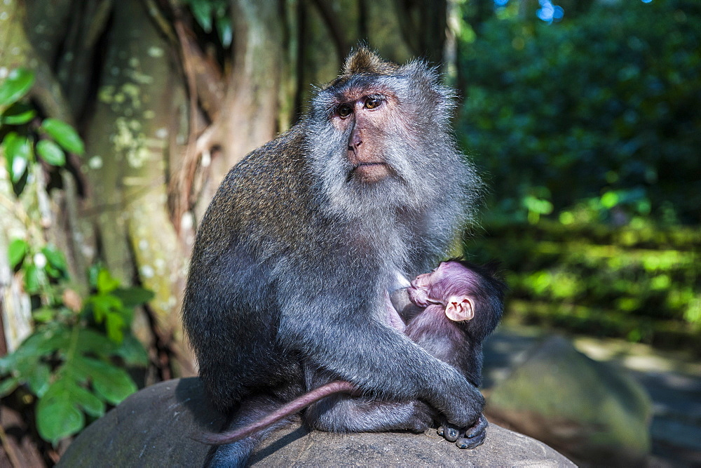 Crab-eating macaque (Macaca fascicularis) mother with baby, Monkey Forest, Ubud, Bali, Indonesia, Southeast Asia, Asia