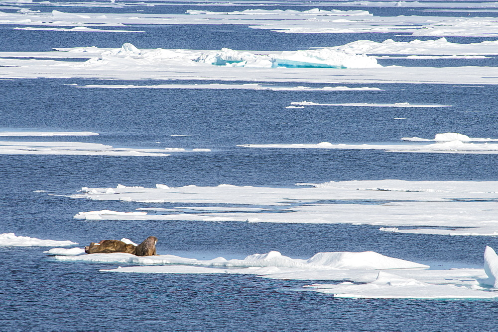 Three walrus (Odobenus rosmarus) on an ice shelf, Arctic shelf, Svalbard, Arctic