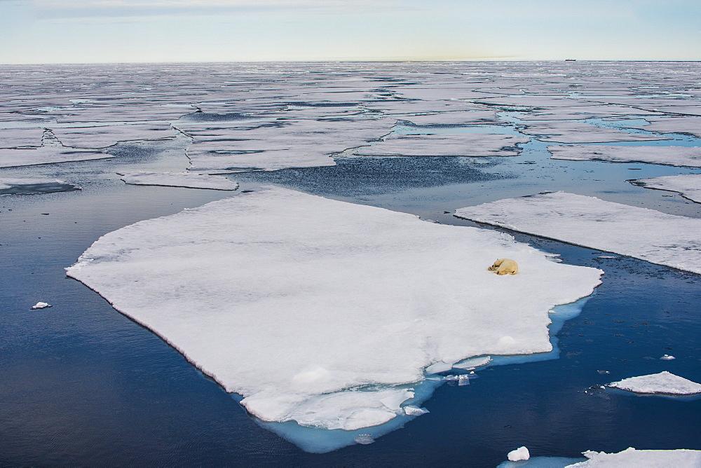 Polar bear (Ursus maritimus) on a ice floe in the Arctic shelf, Svalbard, Arctic - 816-8005