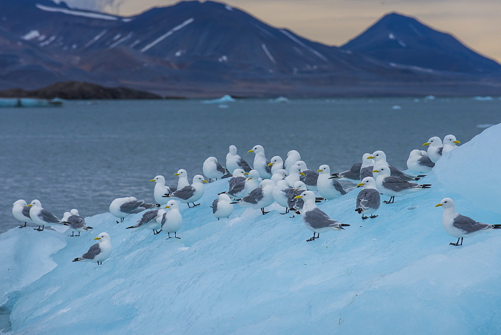 Kittiwakes sitting on a huge piece of ice, Hornsund, Svalbard, Arctic, Norway, Scandinavia, Europe