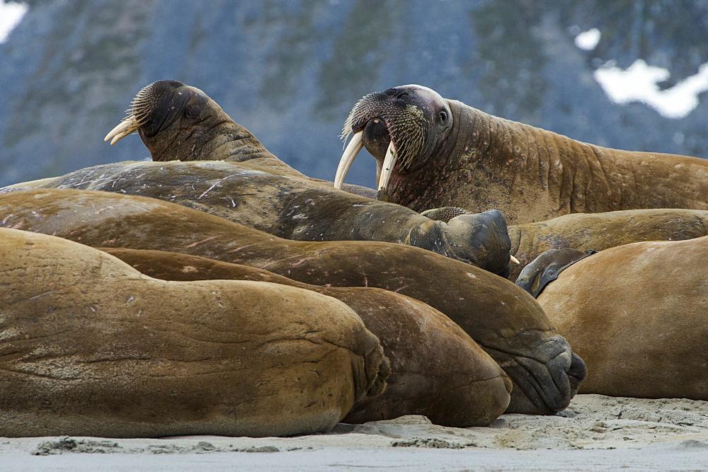 Walrus (Odobenus rosmarus) colony, Magdalenen Fjord, Svalbard, Arctic, Norway, Scandinavia, Europe