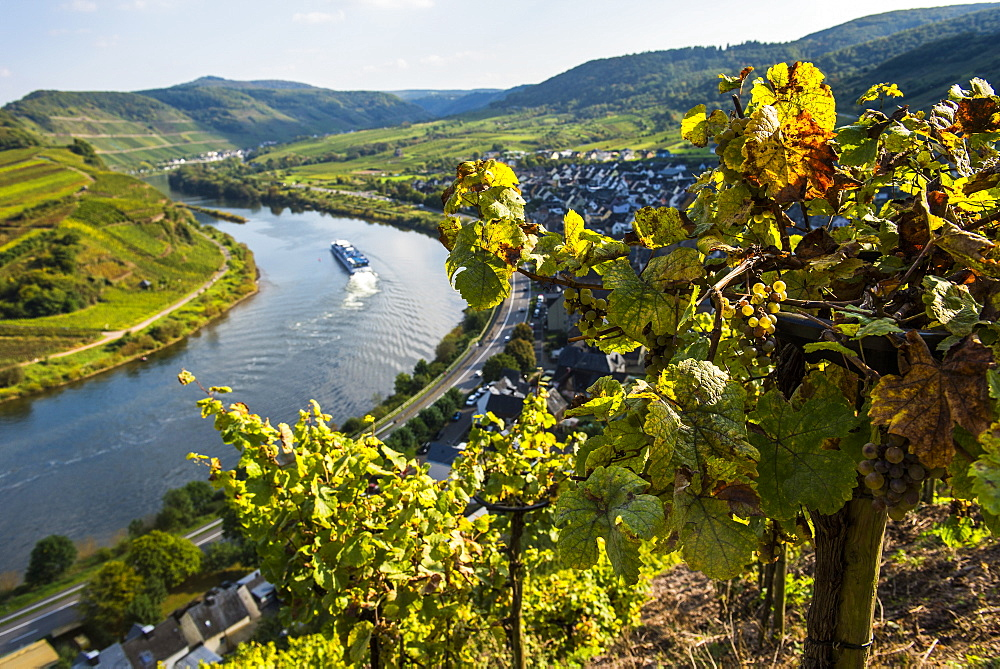 Cruise ship at the Moselle River bend at Bremm seen through the vineyards, Moselle Valley, Rhineland-Palatinate, Germany, Europe