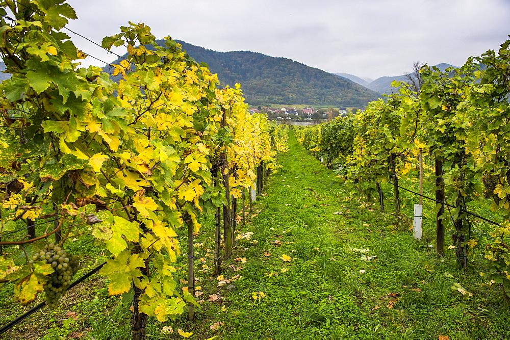Vineyard in Duernstein, Danube, Wachau Cultural Landscape, UNESCO World Heritage Site, Austria, Europe