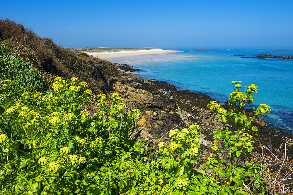 Blooming flowers with Shell Beach in the background, Herm, Channel Islands, United Kingdom, Europe