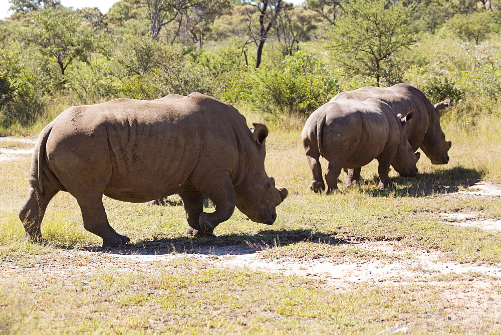 A group of white rhinos (Ceratotherium simum) (square-lipped rhinoceros), in Matobo National Park, Zimbabwe, Africa - 826-695