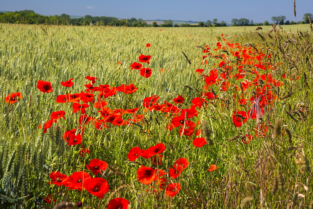 Poppies in poppy field, Cambridgeshire, England, United Kingdom, Europe - 828-1175