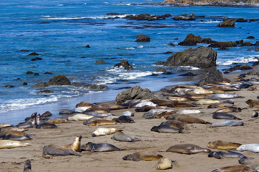 Elephant seals moulting, Piedras Blancas (White Rocks), Highway 1, California, United States of America, North America