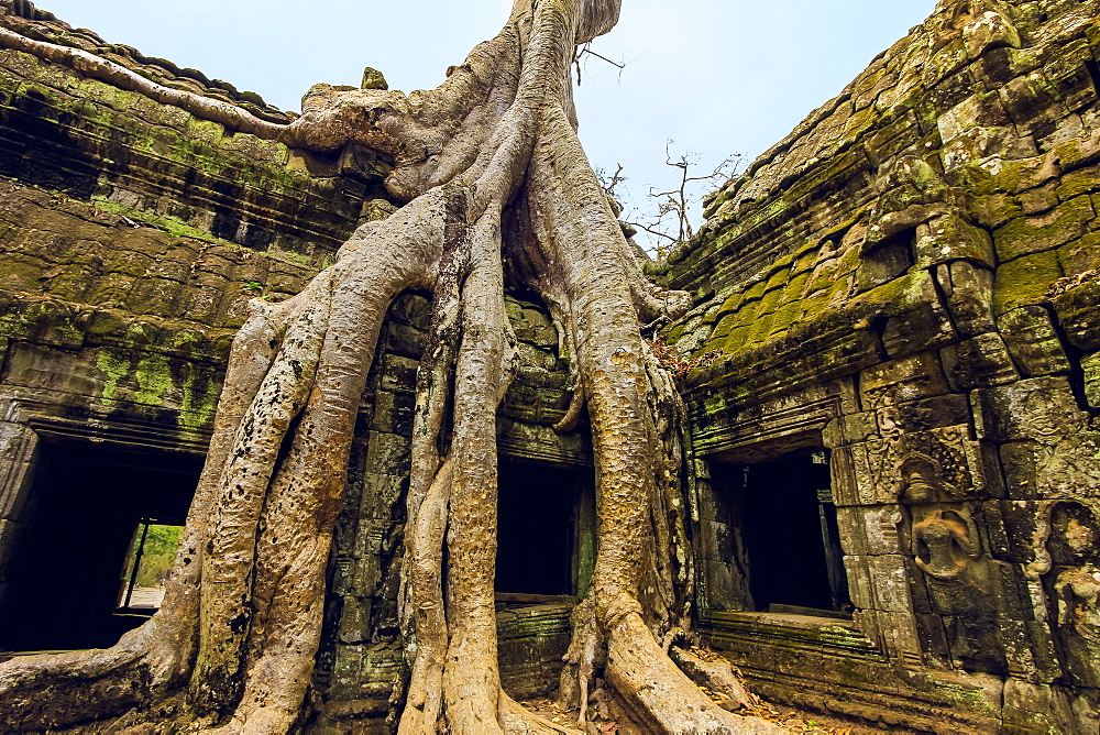 Tree roots on a gallery in 12th century Khmer temple Ta Prohm, a Tomb Raider film location, Angkor, UNESCO World Heritage Site, Siem Reap, Cambodia, Indochina, Southeast Asia, Asia