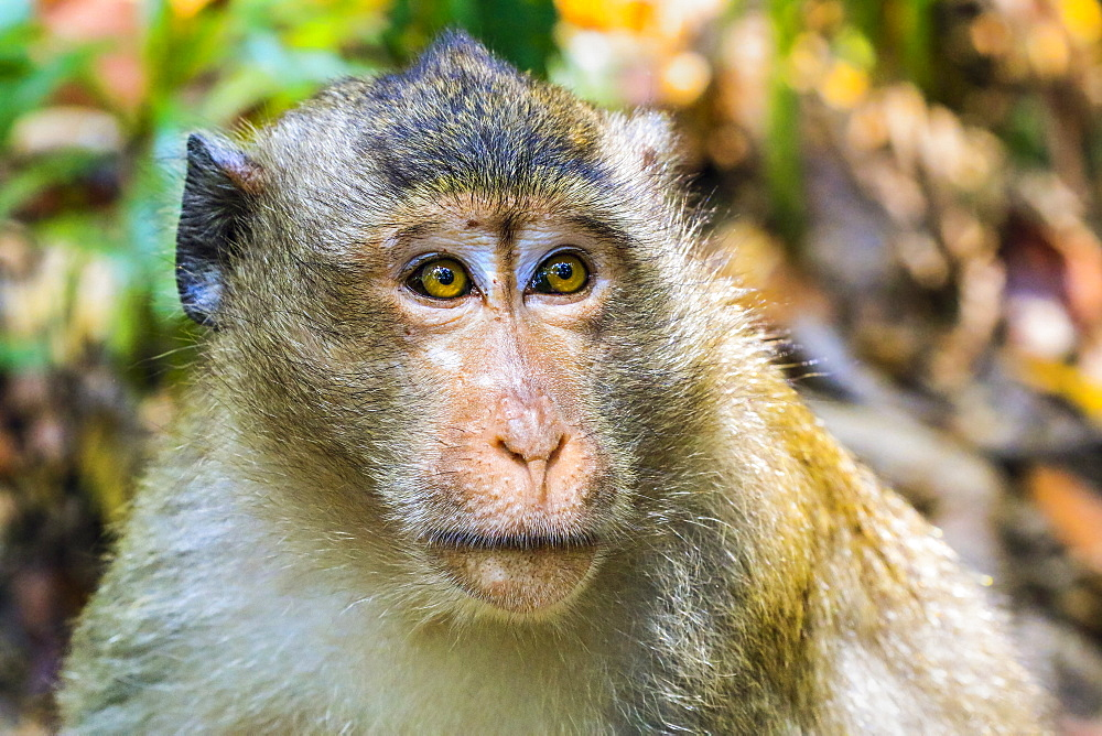 Crab-eating macaque (long-tailed macaque) monkey (Macaca fascicularis) in the jungle, Koh Rong Sanloem Island, Sihanoukville, Cambodia, Indochina, Southeast Asia, Asia