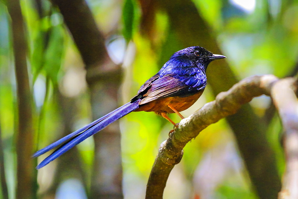 White-rumped Shama (Kittacincla malabarica), a bird that favours dense jungle, Koh Rong Sanloem Island, Sihanoukville, Cambodia, Indochina, Southeast Asia, Asia