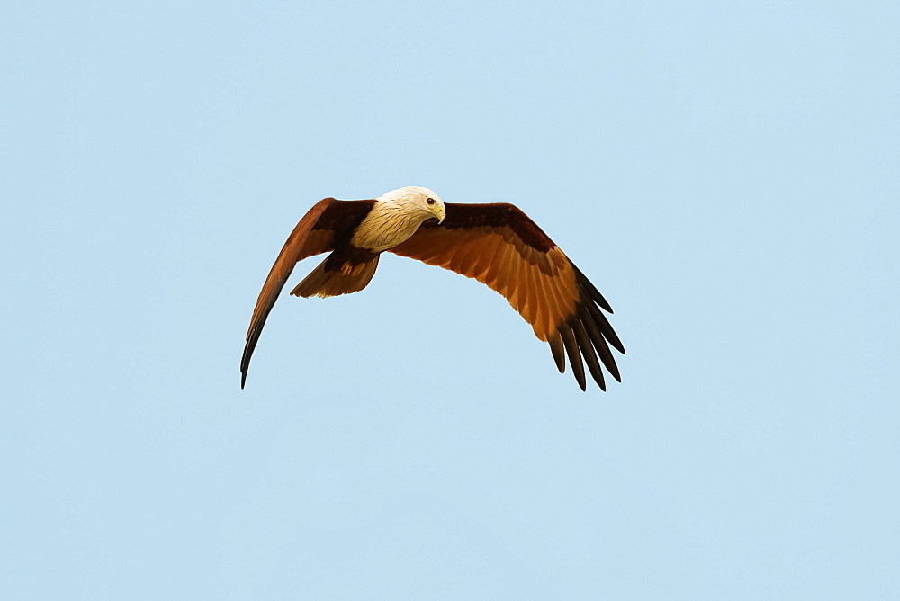 Brahminy kite (Haliastur indus), common here due to fish scraps; Marari Beach, Mararikulam, Alappuzha (Alleppey), Kerala, India
