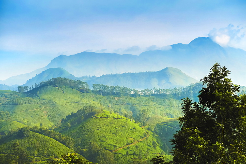 View north across Munnar tea estates to the Western Ghats and 2695m Anamudi, highest peak in south India, Munnar, Kerala, India, Asia