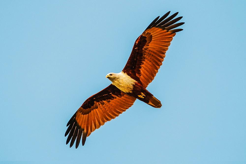 Brahminy kite (Haliastur indus), common here due to fish scraps at Kizhunna Beach on the Kerala North coast, Kannur, Kerala, India, Asia