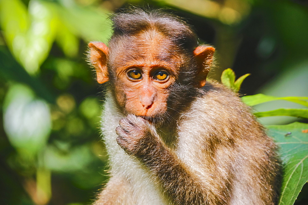 Long-tailed macaque monkey near the Edakkal Caves, where tourist contact has made them tame; Edakkal, Wayanad, Kerala, India