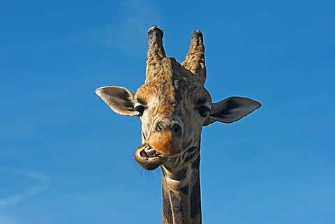 giraffe, chewing, looking straight to camera