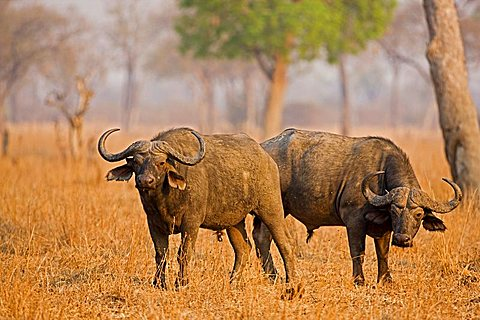 African Buffalo (Syncerus caffer), South Luangwa National Park, Zambia, Africa