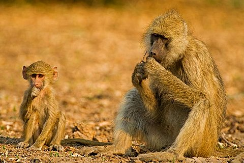 Yellow Baboon (Papio cynocephalus) with child, South Luangwa National Park, Zambia, Africa