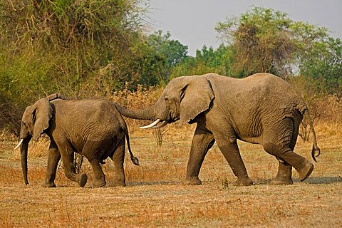 African Bush Elephants (Loxodonta africana), South Luangwa National Park, Zambia, Africa