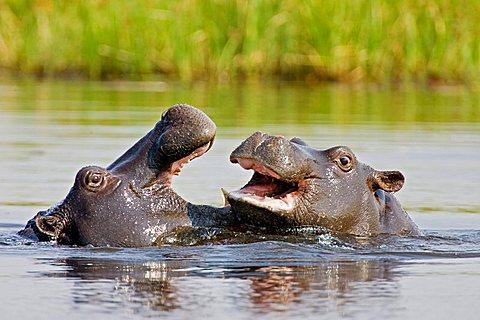 Young Hippopotamus (Hippopotamus amphibius) playing, Moremi National Park, Moremi Wildife Reserve, Okavango Delta, Botswana, Africa